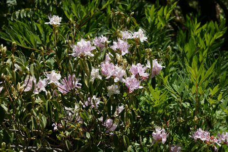 lanceolate: Rhododendron davidsonianum, shrub with green lanceolate to oblong leaves, covered with scales on lower surface, flowers  pale to rosy red in small clusters