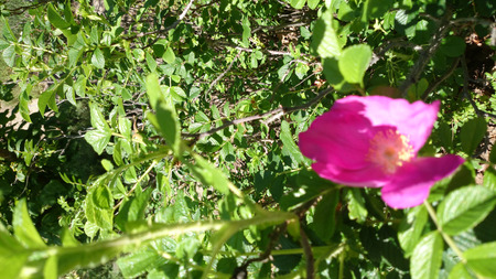 leaflets: Rugosa rose, Japanese rose, Rosa rugosa, shrub with straight prickles, pinnate leaves with 5-9 rugose leaflets and dark pink to white flowers