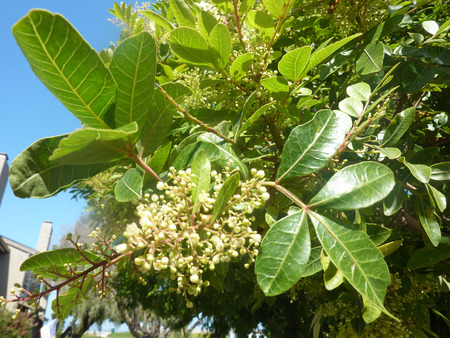 leathery: Schinus terebinthifolius, Brazilian pepper, small tree with pinnate compound leaves with 5-15 leathery leaves, winged rachis, small white flowers and red about 5 mm red drupes Stock Photo