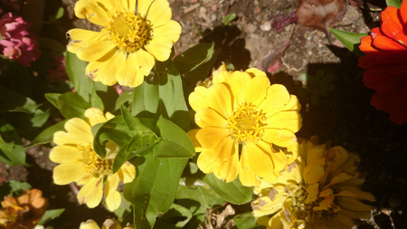 and opposite: Zinnia hybrida yellow cultivar with green opposite leaves and large terminal orange yellow heads Stock Photo