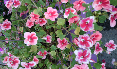 habit: Patchwork Cosmic Cherry Exotic Impatiens, Impatiens walleriana cultivar with mound forming habit, green leaves and orange red flowers with lighter center, best suited for shade. Stock Photo