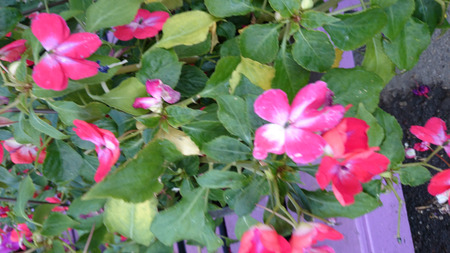 forming: Patchwork Cosmic Cherry Exotic Impatiens, Impatiens walleriana cultivar with mound forming habit, green leaves and orange red flowers with lighter center, best suited for shade. Stock Photo