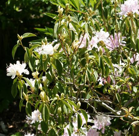 lanceolate: Rhododendron davidsonianum, arbusto con lanceolate verde alle foglie oblunghe, coperto di squame sulla superficie inferiore, fiori pallido al rosso rosato in piccoli gruppi
