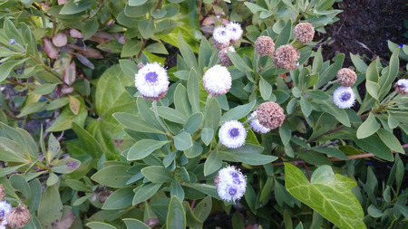lance shaped: globe daisy, Globularia indubia, small shrub with green lance shaped leaves and white globose flower heads with lavender blue center Stock Photo
