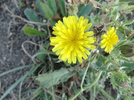 Picris echioides, Bristly oxtongue, Helminthotheca echioides, spreading annual with stem and leaves covered with bristles, head yellow, ligulate, terminal, used in medicine