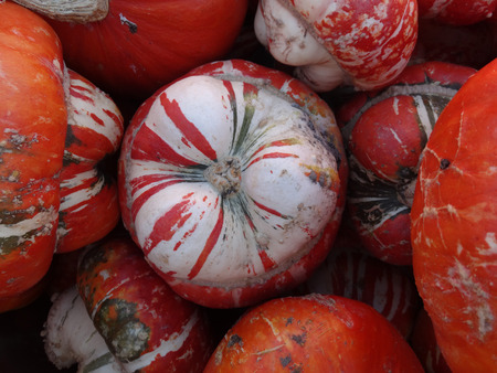 mottling: Turban squash Cucurbita maxima Turrks turban cultivar with turban like cap at flower end having mottling of orange white and green used as ornamental and also as vegetable.