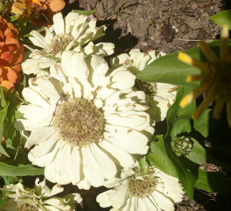 and opposite: Zinnia hybrida white, ornamental herb, cultivar with green opposite leaves and large terminal white heads Stock Photo