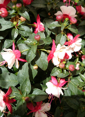 erect: fuchsia Aretes Upright Arroyo Grande, erect bushy plant with green leaves and two coloured flowers, red outside, white within