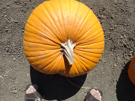 sized: Pumpkin, Connecticut field pumpkin, Cucurbita pepo, a globose large sized pumpkin with orange grooved skin and deep orange flesh most suited for carving