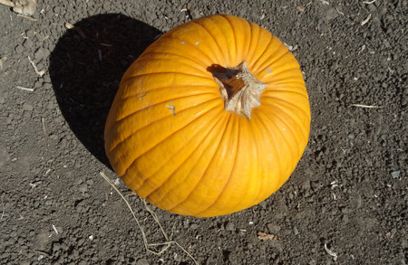 large pumpkin: Pumpkin, Connecticut field pumpkin, Cucurbita pepo, a globose large sized pumpkin with orange grooved skin and deep orange flesh most suited for carving