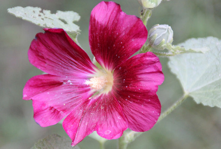 erect: Hollyhock Althaea rosea erect annual herb with broad nearly rounded leaves and purple to pink flowers along an elongated axis