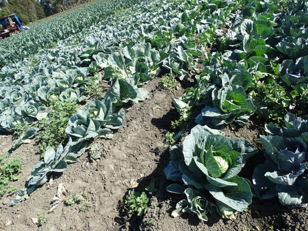 vegetative: Cabbage Brassica oleracea var capitata vegetable crop with large vegetative bud surrounded by opened leaves used in salads and cooked vegetable