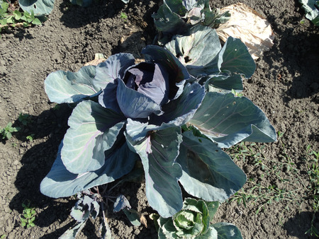vegetative: Red cabbage Brassica oleracea var. capitata vegetable crop with dark red large vegetative bud surrounded by dark green tinged red spreading leaves used as vegetable noodles and in salads Stock Photo