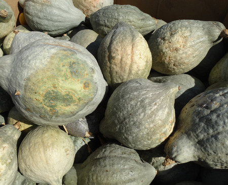 flavorful: Blue Hubbard squash Cucurbita maxima Blue Hubbard teardrop shaped large sized squash with greyblue skin and finegrained somewhat dry flesh mealy and flavorful good for cooking. Stock Photo
