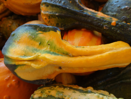 vibrant colours: Autumn wings Cucurbita pepo ornamental gourd with prominently winged warted fruits with vibrant colours often pear shaped with curved neck.