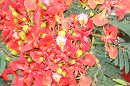 Delonix regia Flame tree Gul mohar ornamental tree with bipinnate leaves and orange red flowers in long broad racemes Stock Photo