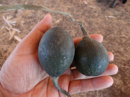 induce: Goblin eggs dark green, small ornamental fruits egg shaped dark green, nearly blackish in color with pale lemon yellow dots, with hard shell and the size of eggs, often used to induce hens for egg laying Stock Photo