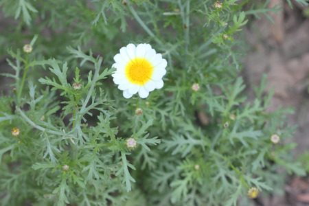coronarium: Chrysanthemum coronarium var. coronarium, Garland Chrysanthemum, ornamental herb with finely dissected leaves and golden yellow radiate heads, one plant of var. discolor Stock Photo