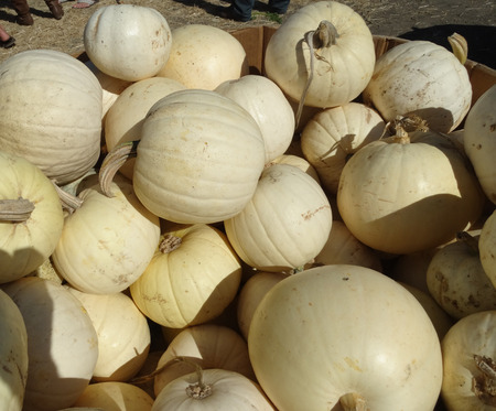 nearly: Cucurbita maxima, Ghost pumpkin, Casper pumpkin, medium sized pale cream to nearly white smooth fruit, used in pies, baking and Halloween decorations