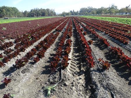 lustrous: Field of Sea of Red lettuce, Lactuca sativa, cultivar with lustrous red flat leaves in open rosette, used as salad