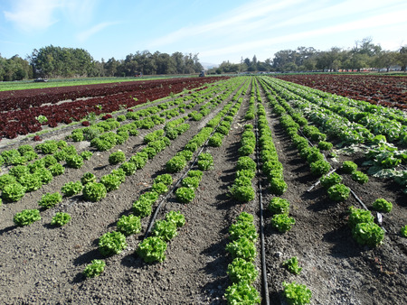 lactuca: Field of Crisped Head Lettuce, Lactuca sativa, cultivar with compact head with crisped leaves, used as salad Stock Photo