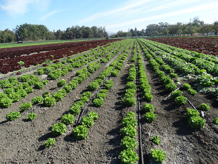 lactuca: Field of Crisped Head Lettuce Lactuca sativa cultivar with compact head with crisped leaves used as salad