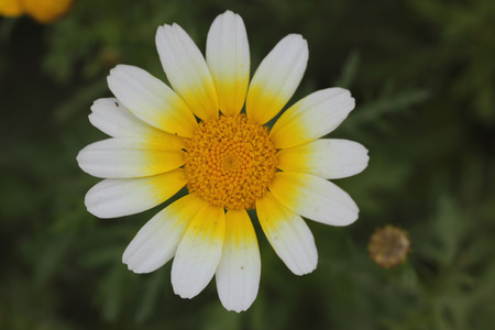 coronarium: Chrysanthemum coronarium var. coronarium Garland Chrysanthemum ornamental herb with finely dissected leaves and golden yellow radiate heads one plant of var. discolor