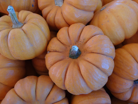 grooves: Munchkins Cucurbita pepo mini pumpkins usually less than 10 cm in diam with orange red  skin with ridges and grooves orange red inside edible as well as  ornamental Stock Photo