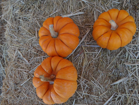 usually: Munchkins Cucurbita pepo mini pumpkins usually less than 10 cm in diam with orange red  skin with ridges and grooves orange red inside edible as well as  ornamental Stock Photo
