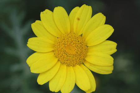 coronarium: Chrysanthemum coronarium var. coronarium Garland Chrysanthemum ornamental herb with finely dissected leaves and golden yellow radiate heads Stock Photo