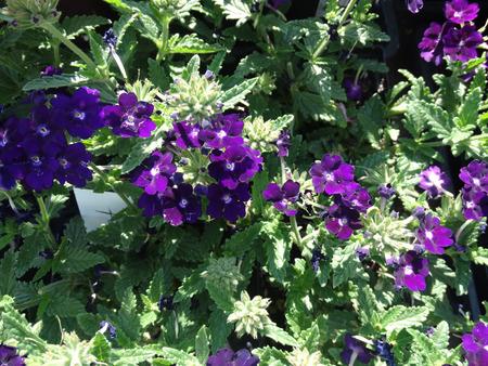 margin: Arrastrando verbena, Verbena hybrida, jard�n de hierbas con la base rastreros, hojas con margen dentado o flores de color p�rpura ligeramente lobuladas y azulados en las cabezas planas