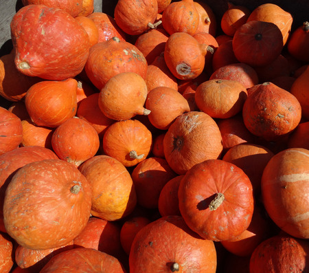 red skinned: Cucurbita maxima, Red Kuri squash, orange red colored thick skinned fruit with yellow colored firm chestnut like flavor Stock Photo