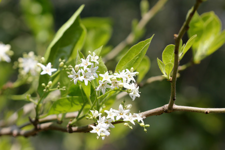on forked: Ehretia laevis small tree with green leaves and small white flowers on forked branched inflorescence Stock Photo