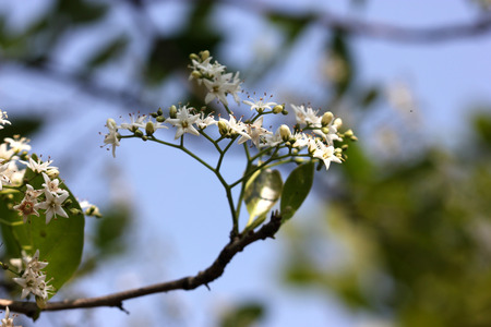 forked: Ehretia laevis small tree with green leaves and small white flowers on forked branched inflorescence Stock Photo