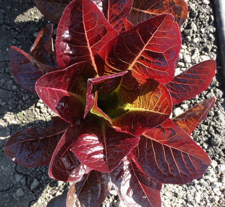 lustrous: Sea of Red lettuce Lactuca sativa cultivar with lustrous red flat leaves in open rosette used as salad