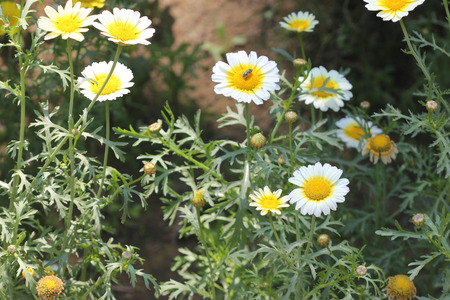 radiate: Chrysanthemum coronarium var. discolor Garland Chrysanthemum ornamental herb with finely dissected leaves and white radiate heads with yellow disc. Stock Photo