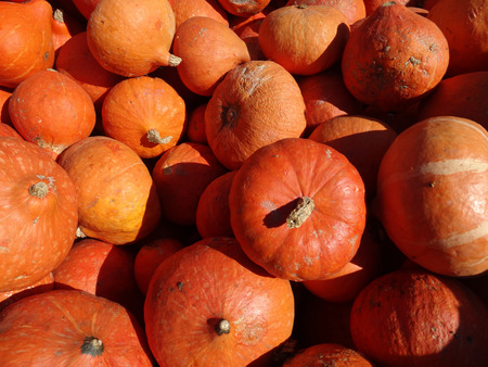 red skinned: Cucurbita maxima Red Kuri squash orange red colored thick skinned fruit with yellow colored firm chestnut like flavor