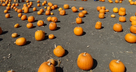 sized: Connecticut Field pumpkin Cucurbita pepo the popular Halloween pumpkin medium sized orange yellow in color with shallow grooves