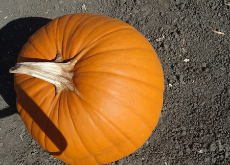 grooves: Connecticut Field pumpkin Cucurbita pepo the popular Halloween pumpkin medium sized orange yellow in color with shallow grooves