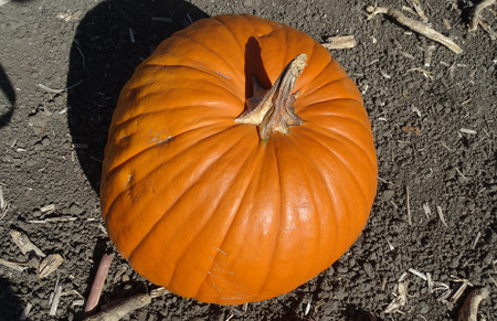 sized: Connecticut Field pumpkin, Cucurbita pepo, the popular Halloween pumpkin, medium sized orange yellow in color with shallow grooves Stock Photo