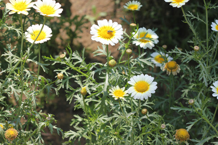 var: Chrysanthemum coronarium var. discolor Garland Chrysanthemum ornamental herb with finely dissected leaves and white radiate heads with yellow disc. Stock Photo