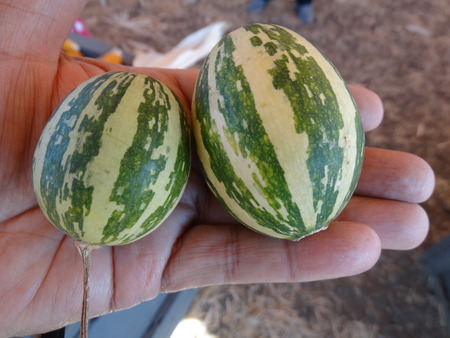 induce: Goblin eggs gray and green striped, small ornamental fruits egg shaped with broad gray and dark green stripes, with hard shell and the size of eggs, often used to induce hens for egg laying