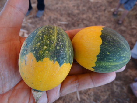 induce: Double color goblin egg small ornamental fruits with hard shell and the size of eggs yellow in one half dark blackish green in other half with lighter dots often used to induce hens for egg laying