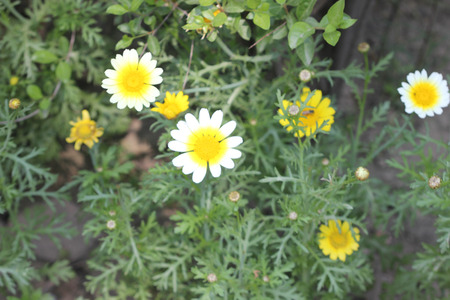coronarium: Chrysanthemum coronarium var. discolor Garland Chrysanthemum ornamental herb with finely dissected leaves and white radiate heads with yellow disc. Stock Photo