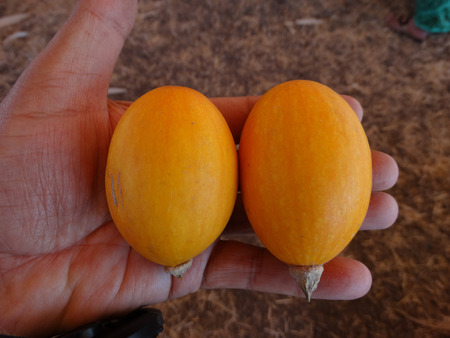 egg laying: Yellow Goblin eggs, small ornamental fruits egg shaped with orange yellow skin, with hard shell and the size of eggs, often used to induce hens for egg laying Stock Photo