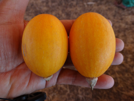 induce: Yellow Goblin eggs, small ornamental fruits egg shaped with orange yellow skin, with hard shell and the size of eggs, often used to induce hens for egg laying Stock Photo