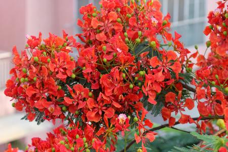 broad leaf: Delonix regia Flame tree Gul mohar ornamental tree with bipinnate leaves and orange red flowers in long broad racemes Stock Photo