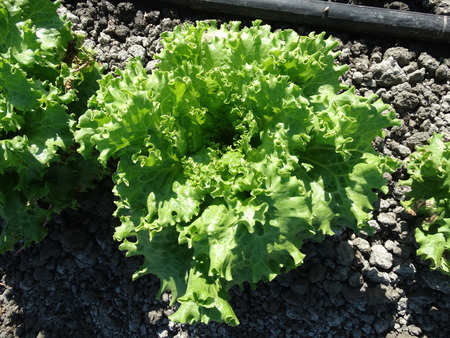 sativa: Crisped Head Lettuce Lactuca sativa cultivar with compact head with crisped leaves used as salad Stock Photo
