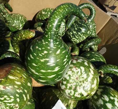Gooseneck gourd swan gourd Lagenaria siceraria dark green fruits with pale yellow patches broader towards base and with suddenly narrowed curved neck used mainly as decoration. Stock Photo