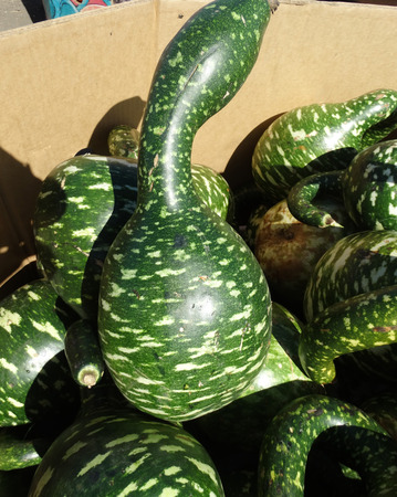 broader: Gooseneck gourd swan gourd Lagenaria siceraria dark green fruits with pale yellow patches broader towards base and with suddenly narrowed curved neck used mainly as decoration. Stock Photo